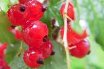 Owoce porzeczki
